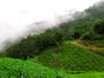 Tea garden from Munnar - South India  by Sylvain Bedouet