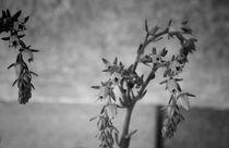 Cactus flowers II von Laura Benavides Lara