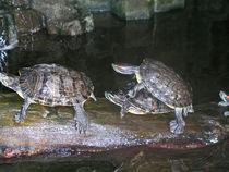 Schildkröten bei der Paarung - Turtles by Eva-Maria Di Bella