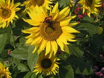 """Schmetterling """"Kleiner Fuchs"""" auf Sonnenblume - Butterfly on Sunflower by Eva-Maria Di Bella"""