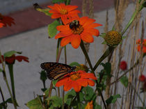 Bumble Bee and Monarch Butterfly Sharing Pollination Duties by Terry Kepner