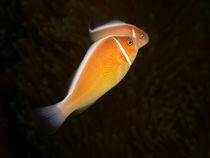 Halsbandanemonenfische von Peter Bublitz