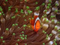 Clarks-Anemonenfisch von Peter Bublitz