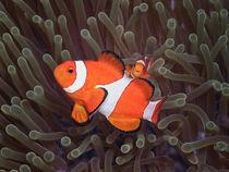 Clown- oder Anemonenfisch von Peter Bublitz