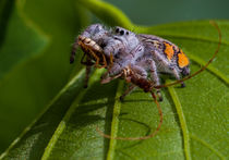 White jumping spider with insect by Craig Lapsley