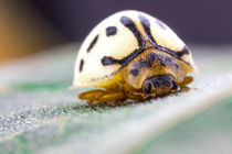 white ladybird by Craig Lapsley