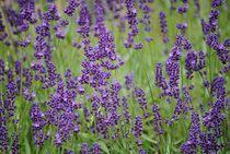 Lavendel von Elke Balzen