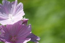 Malvenblüte von eifel-wildlife