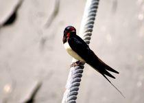 Rauchschwalbe auf Ankertrosse / Schiffstau - barn-swallow on steel rope von mateart