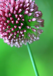 Allium by Jens Berger
