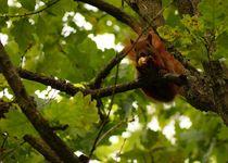 Hanging around in green 2 - squirrel - Abhängen im Grünen 2 - Eichhörnchen auf Eiche von mateart