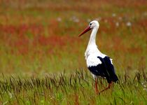 Storch in sommerlicher Wildblumenwiese - stork in colorful greenfield von mateart
