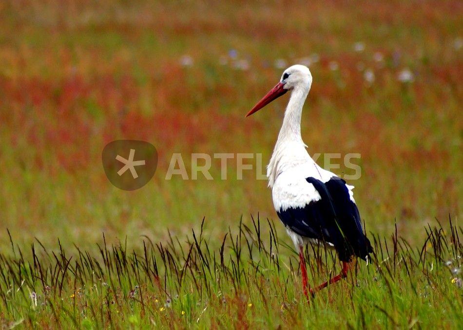 storch in sommerlicher wildblumenwiese stork in. Black Bedroom Furniture Sets. Home Design Ideas