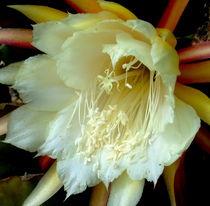 Kaktusblüte von Monika  Klein