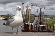 Silbermöwe im Hafen - herring gull in the harbor von ropo13