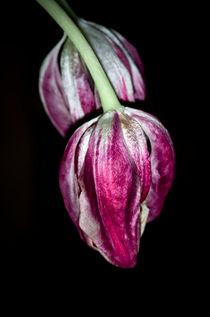 Tulpen by fotolos