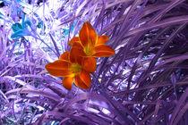 Taglilienblüten I by lorenzo-fp
