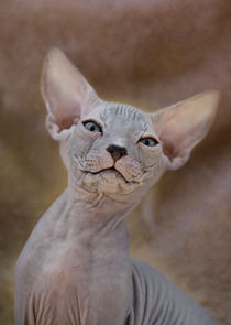 Don Sphynx Kitten / 2 by Heidi Bollich