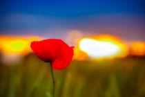 Mohnblume im Sonnenuntergang von Daniel Kühne