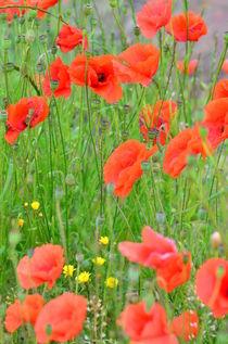 Red poppies von 7horses