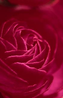 Red Ranunculus von Henrique Souto
