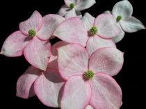 Flowering-dogwood
