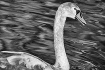 Juvenile Swan von Mary Lane