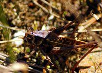 Heuschrecke an der Ostsee - Grasshopper near baltic sea von mateart