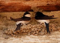 little house martins - junge mehlschwalben von mateart