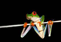 Rotaugenlaubfrosch - nachtaktiv, Costa Rica von Ursula Di Chito