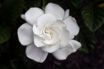 White Gardenia von Michael Waters