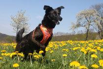 Hund auf Blumenwiese 001 von Monika Dobberstein