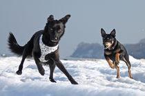 Hunde im Eis 001 von Monika Dobberstein