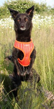 Hund in Blumenwiese 003 von Monika Dobberstein