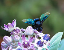 carpenter bee by sidnaique
