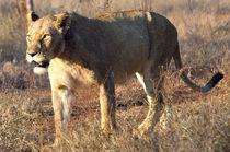 Lion3921