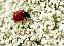 into the white - ladybug / ladybird - in's Weisse - Marienkäfer / Mutschekiepchen von mateart