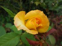 Yellow-rose-of-texas