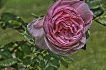 Chaucer - English Rose by Rudolf J.  Strutz