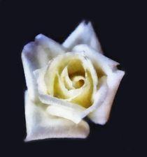 Rosa bianca von dado