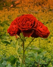 Drei Rosenblüten... by lorenzo-fp