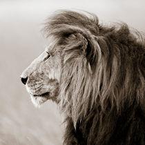Male Lion III, Masai Mara, Kenya, Africa by Regina Müller