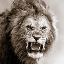 Male Lion I, Masai Mara, Kenya, Africa von Regina Müller