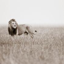Male Lion II, Masai Mara, Kenya, Africa by Regina Müller