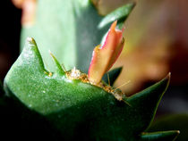 Schlumbergera ... Cactus  by bebra