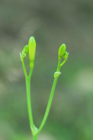 Hemerocallis-fulva-braunrote-taglilie-c-silke-bicker-1