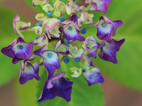 Hortensie-lila-blau-c-silke-bicker-1