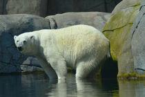 Eisbär von sarahs-schnappschuss