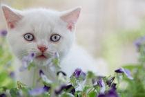 Britisch Kurzhaar Kitten / 10 von Heidi Bollich