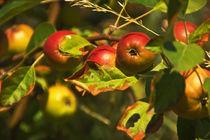 Äpfel  von Barbelotta  1